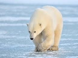 خطر انقراض خرس های قطبی تا پایان قرن